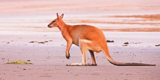 kangaroo-australia-800x400
