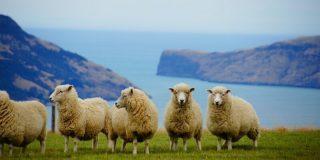 new-zealand-sheep-800x400