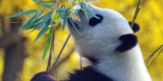 panda-china-800x400
