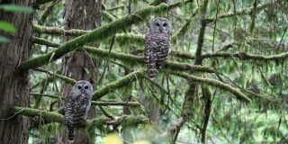 portland-owls