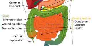 digestive-system-abdominal