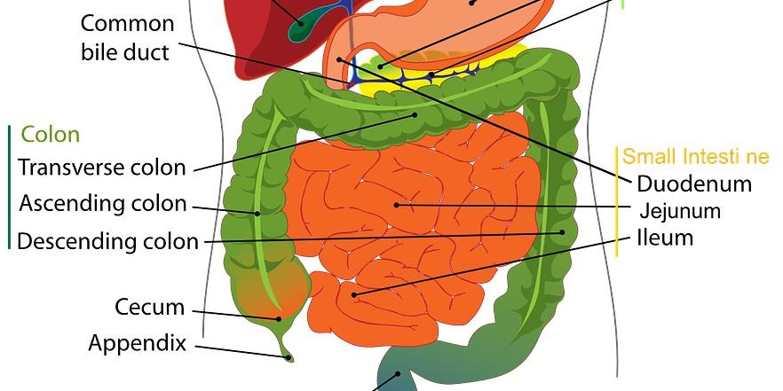 Abdominal Massage and Digestive Health